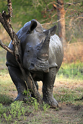 June 23, 2015 - Wide-mouthed Rhinoceros after mud bath, Kruger national park, South Africa / (Ceratotherium simum) / dirty (Credit Image: © Tuns/DPA/ZUMA Wire)