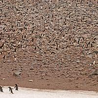 ANTARCTICA, Adelie penguin rookery (one of world's biggest) on Paulet Island where hundreds of thousands of birds nest each austral spring. (Pygoscelis adeliae).