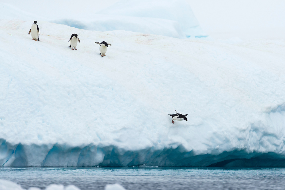 Adelie penguins leap off of an iceberg on Wednesday, Feb. 7, 2018 in Brown Bluff, Antartica. (Photo by Ric Tapia)