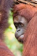 A female orangutan (Pongo pygmaeus), Malaysia.  captive.
