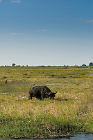 A Water Buffalo grazing on a floodplain in Chobe National Park, Botswana