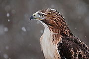 Red-Tailed Hawk, buteo jamaicensis, (captive) north of Haines, Alaska