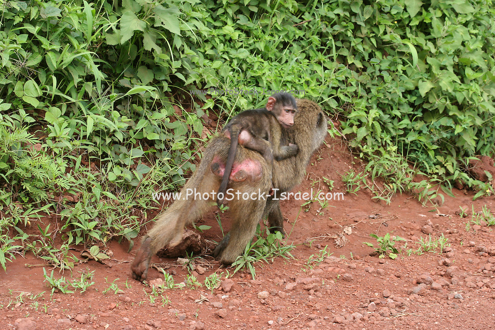 Africa, Tanzania, Serengeti nature reserve, Female Olive Baboon (Papio anubis) carries baby baby on her back