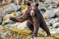 Coastal grizzly bear cub, Great Bear Rainforest, BC, Canada
