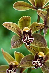 Cymbidium orchid ( Miniature ) - Cymbidium 'Samares'