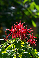 Aphelandra hybrid, a bright red flower at the St Rose Nursery which specialises in tropical plants and is owned by John Criswick in La Mode, St. George's Grenada