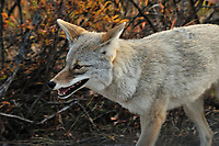 Coyote. Image taken with a Nikon D3 camera and 80-400 mm VR lens (ISO 1600, 400 mm, f/11, 1/250 sec).