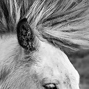 Portrait of the mane of a white horse.