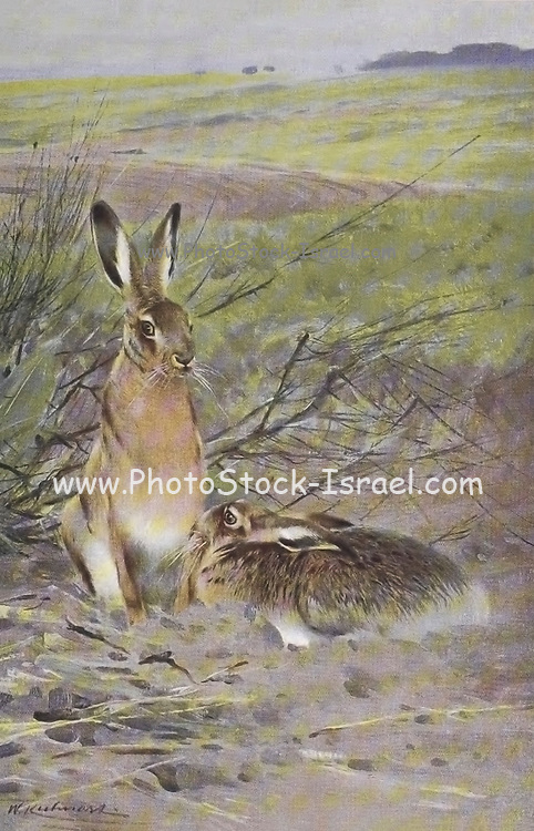 The European hare (Lepus europaeus), also known as the brown hare, is a species of hare native to Europe and parts of Asia. It is among the largest hare species and is adapted to temperate, open country. Hares are herbivorous and feed mainly on grasses and herbs, supplementing these with twigs, buds, bark and field crops, from the book '  Animal portraiture ' by Richard Lydekker, and illustrated by Wilhelm Kuhnert, Published in London by Frederick Warne & Co. in 1912