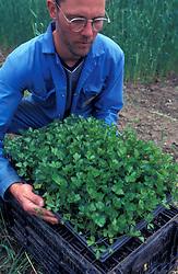 Farmer with seedlings on organic farm; Co Durham UK