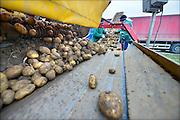 Nederland, Bemmel, 13-10-2015 Aardappeloogst. Nadat de aardappels uit de grond zijn gehaald lost de trekker ze in een schudmachine die de klei er een beetje afhaald. Groter kleibrokken worden er door twee Poolse arbeiders uit gevist waarna de piepers via de band in een vrachtwgen verdwijnen. Die brengt ze naar de Noordoostpolder waar ze volgend jaar gepoot gaan worden.  Foto: Flip Franssen/HH