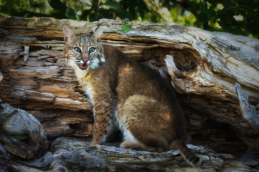 """Adult bobcat on a log. <br /> <br /> Available sizes:<br /> 12"""" x 18"""" print <br /> 12"""" x 18"""" gallery wrap<br /> <br /> See Pricing page for more information. Please contact me for custom sizes and print options including canvas wraps, metal prints, assorted paper options, etc. <br /> <br /> I enjoy working with buyers to help them with all their home and commercial wall art needs."""