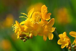 Crocosmia 'Paul's Best Yellow'. Montbretia