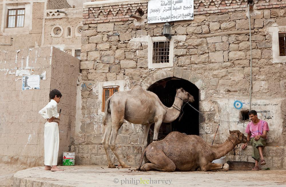 Camels in Sana'as old city. Sana'a, Yemen