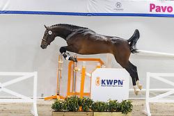 026, No Mercy<br /> KWPN Hengstenkeuring 2021<br /> © Hippo Foto - Dirk Caremans<br />  02/02/2021