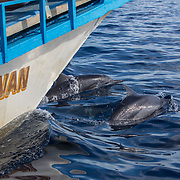 Bow-riding spinner dolphins (Stenella longirostris), Puerto Princesa, Palawan, the Philippines.