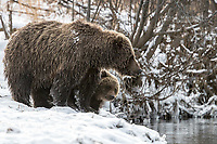 Grizzly Bear and cub fishing in the snow.