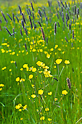 Buttercups in a wildflower meadow, County Cork, Ireland