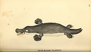 Duck-billed Platypus from General zoology, or, Systematic natural history Part I, by Shaw, George, 1751-1813; Stephens, James Francis, 1792-1853; Heath, Charles, 1785-1848, engraver; Griffith, Mrs., engraver; Chappelow. Copperplate Printed in London in 1800. Probably the artists never saw a live specimen