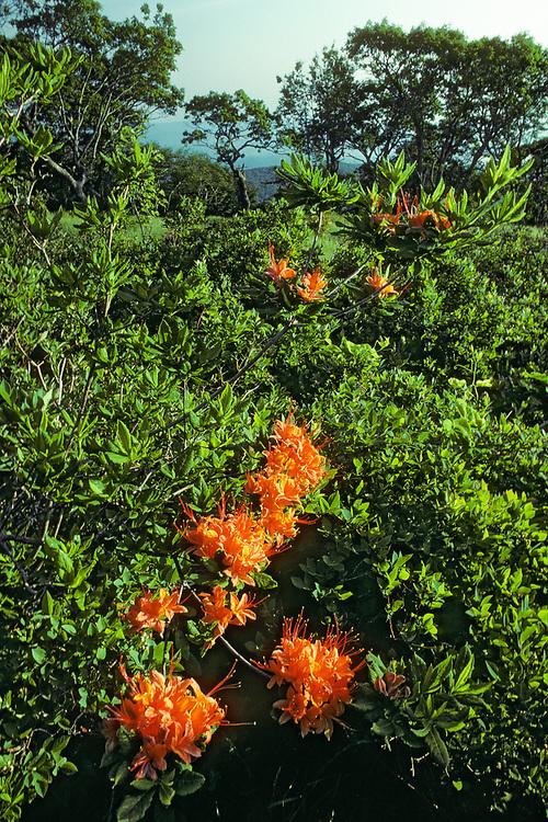 Flame azalea along the Appalachian Trail,  Great Smoky Mountains National Park, Tennessee, USA