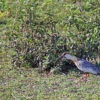 South America, Brazil, Pantanal.  The Black-faced Ibis of the Pantanal.