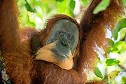 A critically endangered wild male Sumatran orangutan (Pongo abelii) rests in the shade of a tree, Bukit Lawang, Sumatra, Indonesia