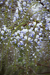 Wisteria floribunda 'Eranthema' (syn. Royal Purple' ?)