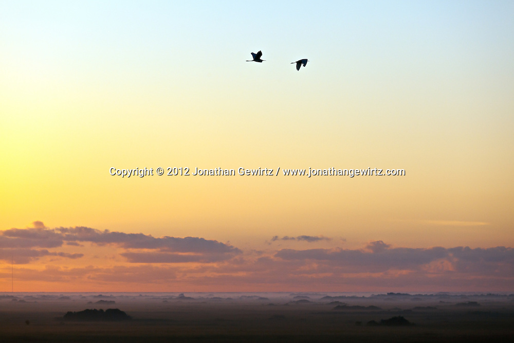 A pair of Egrets or Herons flying above the foggy sawgrass prairie at sunrise in the Shark Valley section of Everglades National Park, Florida. WATERMARKS WILL NOT APPEAR ON PRINTS OR LICENSED IMAGES.