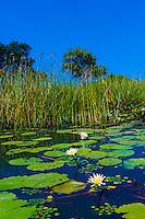 Lily pads and reeds in swamps, near Kwara Camp, Okavango Delta, Botswana.