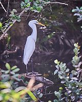 Great Egret perched on a branch in Big Cypress Swamp. Image taken with a Nikon D3x camera and 70-200 mm f2.8 lens (ISO 400, 200 mm, f/2.8, 1/400 sec).