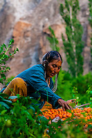 "A woman of the Brokpa tribe in the remote Dahanu Valley collects apricots. The valley is known as the ""Land of the Aryans"" as the people there are considered the purest descendants of the ancient Indo-Europeans; Ladakh; Jammu and Kashmir State; India."
