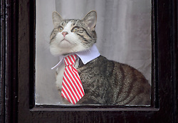 © Licensed to London News Pictures. 14/11/2016. London, UK. A cat belonging to Julian Assange, wearing a tie and collar, is seen sitting in the window of the embassy after Swedish officials arrive at the Ecuadorian Embassy in London where they are expected to interview WikiLeaks editor-in-chief, Julian Assange. Assange, who has been living at the embassy for over four years, is wanted for questioning over accusations of rape in Stockholm in 2010.  Photo credit: Ben Cawthra/LNP © Licensed to London News Pictures. 14/11/2016. London, UK. A cat belonging to Julian Assange called JAMES, wearing a tie and collar, is seen sitting in the window of the embassy after Swedish officials arrive at the Ecuadorian Embassy in London where they are expected to interview WikiLeaks editor-in-chief, Julian Assange. Assange, who has been living at the embassy for over four years, is wanted for questioning over accusations of rape in Stockholm in 2010. Photo credit: Ben Cawthra/LNP