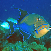 Queen Triggerfish inhabit coral reefs, adjacent areas of rubble and seagrass in Tropical West Atlantic; picture taken Grand Cayman.
