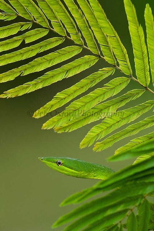 Green Vine Snake (Oxybelis fulgidus)<br /> Rain Forest<br /> Iwokrama Reserve<br /> GUYANA<br /> South America<br /> RANGE: Central America & Northern South America