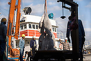 deep frozen Tuna being unloaded from the refrigerated ship