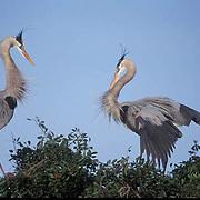 Great Blue Heron, (Ardea herodias) Pair in courtship display. Florida.
