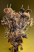 dried brown colored sunflowers studio still life composite against a yellow background