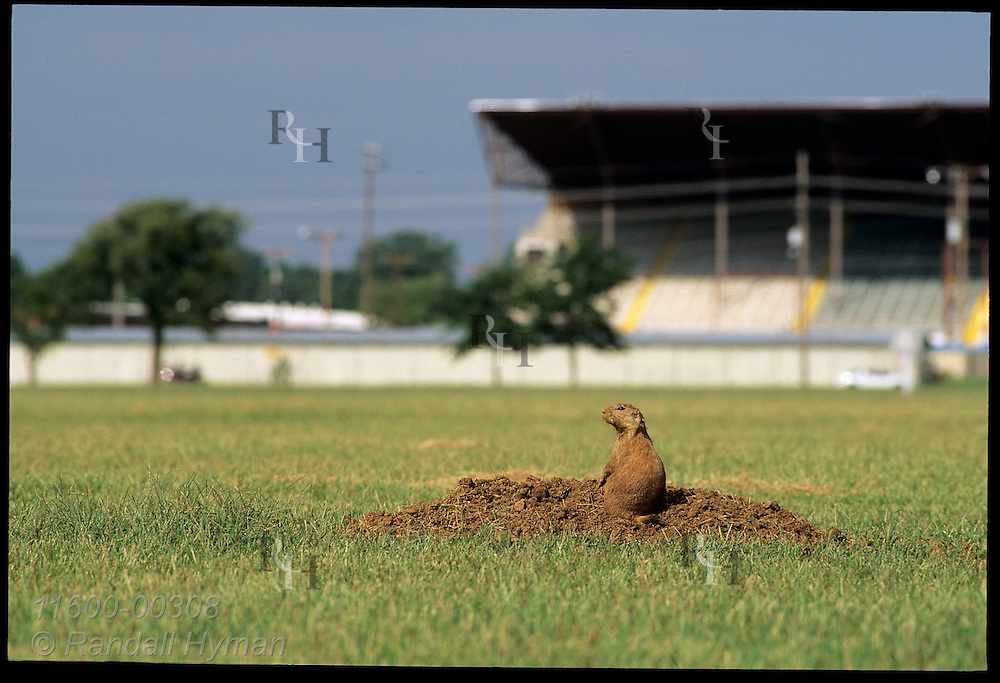 Prairie dog, soon to be relocated, peers from burrow in city park being converted into ball fields in town of Hutchinson, Kansas