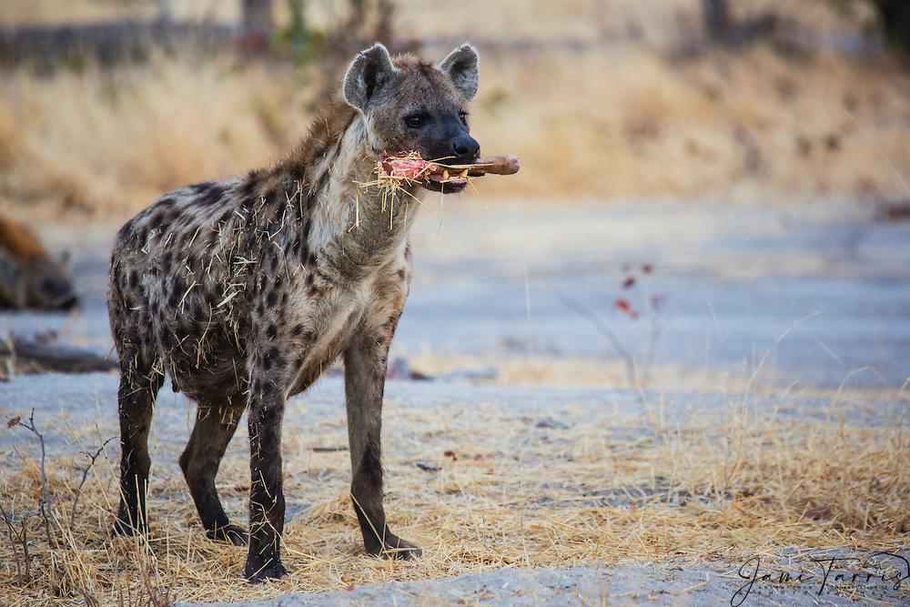 A spotted hyena (Crocuta crocuta) holding the last of a leg bone of an impala in its mouth,,Khwai River, Botswana, Africa