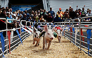 Piglets race at The Great New York State Fair in Syracuse, NY, Monday, August 27, 2015.<br /> (Heather Ainsworth for The New York Times)