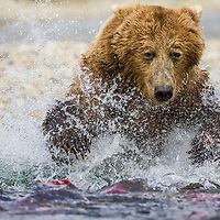 An adult brown bear leaps in an attempt to catch a sockeye salmon