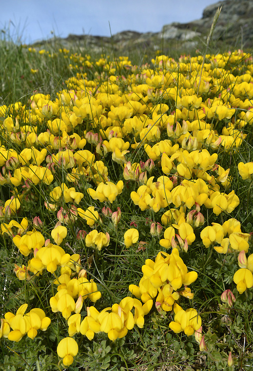 COMMON BIRD'S-FOOT-TREFOIL Lotus corniculatus (Fabaceae) Height to10cm. Sprawling, solid-stemmed and usually hairless perennial. Found in grassy places. FLOWERS are red in bud but yellow and 15mm long when open; in heads on stalks to 8cm long (May-Sep). FRUITS are slender pods; splayed like a bird's foot when ripe. LEAVES have 5 leaflets but appear trifoliate (lower pair at stalk base). STATUS-Common.