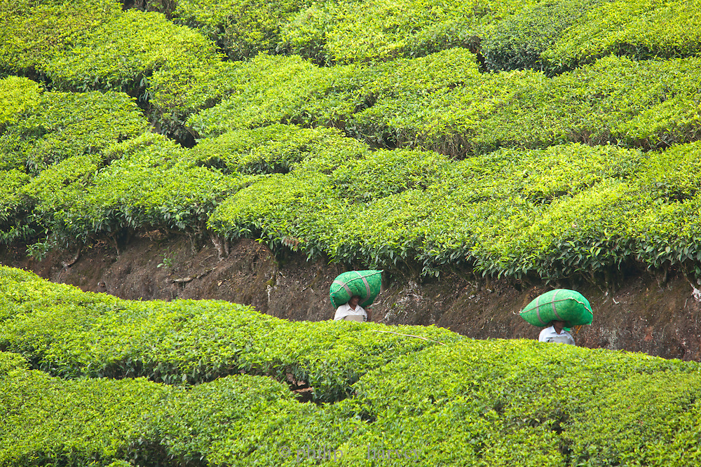 Tea pickers carry bags full of leaves to be weighed, in Munnar, a hill station in Kerala, India