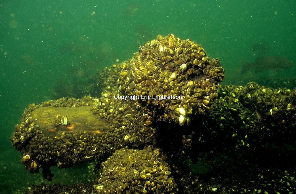 Zebra Mussels<br /> <br /> Engbretson Underwater Photography