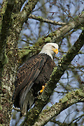 A bald eagle (Haliaeetus leucocephalus) looks for food from its perch over the Skagit River in the North Cascades of Washington state. Hundreds of bald eagles congregate along the river each winter to feast on spawned salmon.