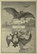 Hammer Head Bat and Naked Bat From the book ' Royal Natural History ' Volume 1 Edited by  Richard Lydekker, Published in London by Frederick Warne & Co in 1893-1894