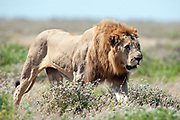 adult male lion walking in open scrubland, Etosha national park.