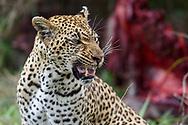 An adult female leopard (Panthera pardus) growls at her almost fully grown daughter at a waterbuck kill (Kobus ellipsiprymnus), Mala Mala Private Game Reserve, South Africa<br /> <br /> Erwachsener weiblicher Leopard (Panthera pardus) an einem Riss (Wasserbock). Mala Mala Private Game Reserve im Westen des Krueger Nationalparks zu Beginn der Regenzeit im November