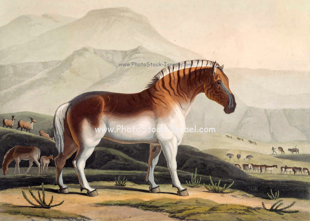 Quahkah or quagga (Equus quagga quagga) is an extinct subspecies of the plains zebra that was endemic to South Africa until it was hunted to extinction in the late 19th century by European settler-colonists. It was long thought to be a distinct species, but early genetic studies have supported it being a subspecies of plains zebra. A more recent study suggested that it was the southernmost cline or ecotype of the species. hand colored plate from the collection of  ' African scenery and animals ' by Daniell, Samuel, 1775-1811 and Daniell, William, 1769-1837 published 1804