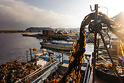 The wakame is winched up onto the dock, harvesting wakame at dawn, Awata fishing port, Naruto, Tokushima Prefecture, Japan, February 4, 2012.
